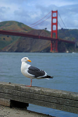Photograph - Golden Gate Gull by Daniel Woodrum