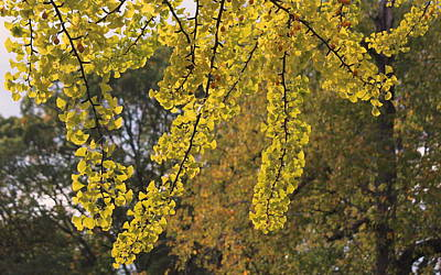 Autumn Photograph - Golden Ginkgo Leaves by Rosanne Jordan