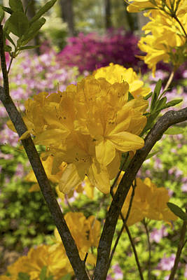 Photograph - Golden Glory - Azalea by Jane Eleanor Nicholas