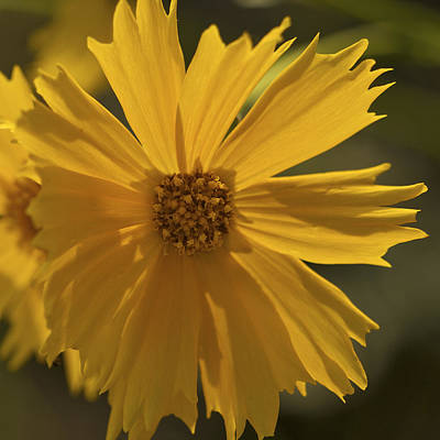 Photograph - Golden Glow - Coreopsis by Jane Eleanor Nicholas