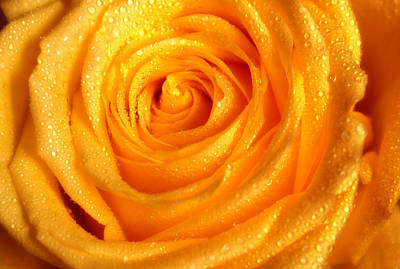 Photograph - Golden Glowing. Floral Jewel. Yellow Rose by Jenny Rainbow