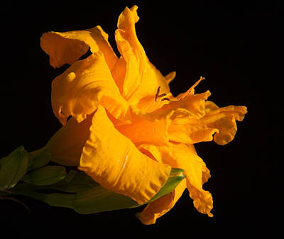 Mellow Yellow - Golden Grace by Douglas Barnett