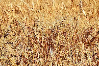 Photograph - Golden Grains by Michelle Calkins
