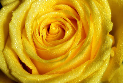Photograph - Golden Grandeur Of Nature. Yellow Rose I by Jenny Rainbow
