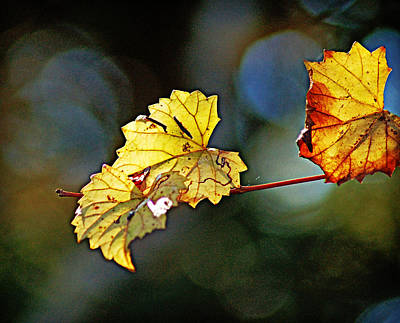 Photograph - Golden Grape Leaves by Linda Brown