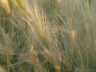 Photograph - Golden Grass by Jenessa Rahn