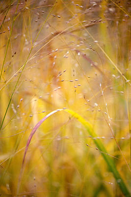 Photograph - Golden Grass by Matthew Pace