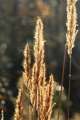 Photograph - Golden Grass by Pete Federico