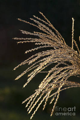 Pyrography - Golden Grass Seeds by Martha Johnson