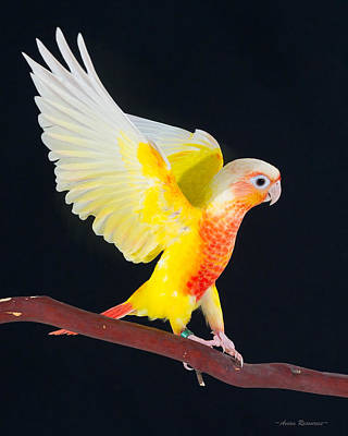 Photograph - Golden Greencheek Conure by Avian Resources