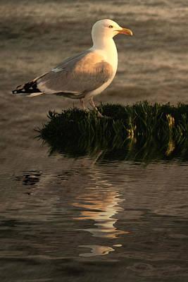 Golden Gull Art Print by Sharon Lisa Clarke
