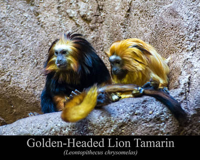 Digital Art - Golden Headed Lion Tamarin by Chris Flees