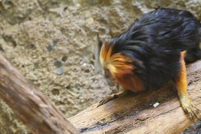 Golden Headed Lion Tamarin - National Zoo - 01131 Print by DC Photographer