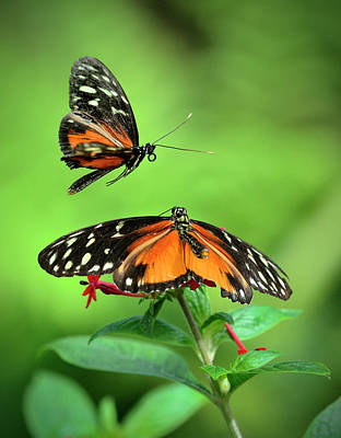 Photograph - Golden Heliconius Butterflies In Mating by Lasting Image By Pedro Lastra
