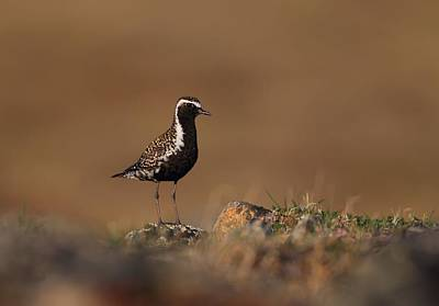 Golden Hour Plover  Art Print by Daniel Behm