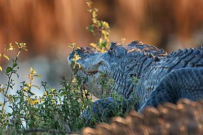 Alligator Photograph - Golden Hour Reflections  by David Bond