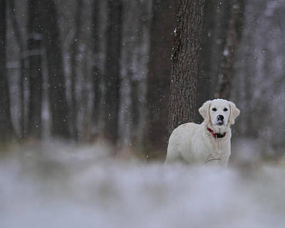 Photograph - Golden In Falling Snow by Coby Cooper