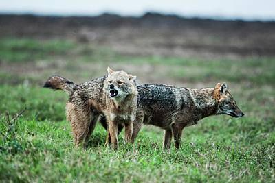 Hula Photograph - Golden Jackal (canis Aureus) by Photostock-israel