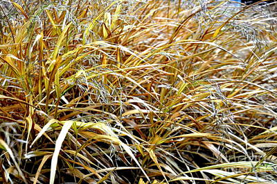 Autumn Photograph - Golden Japanese Forest Grass In December Garden  by Tanya  Searcy