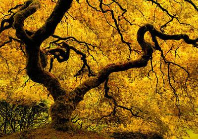 Photograph - Golden Japanese Maple by Don Schwartz