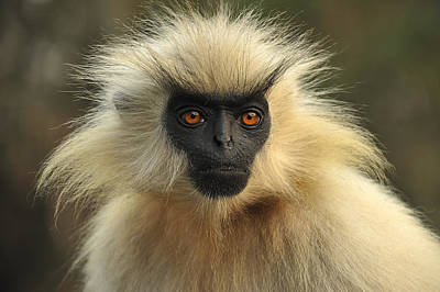 Golden Langur Chakrashila Wildlife Art Print by Thomas Marent