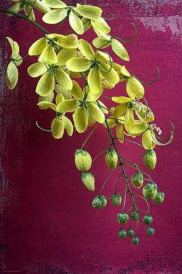 Cassia Blossoms Photograph - Golden Lantern by Chrystyne Novack
