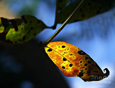 Photograph - Golden Leaf by Anuj Nair