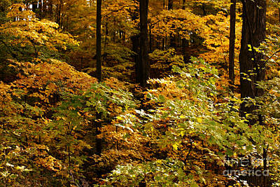 Photograph - Golden Leaves In Autumn by Linda Shafer
