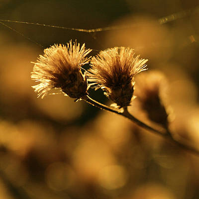Photograph - Golden Light by Jane Eleanor Nicholas