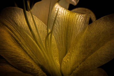 Art Print featuring the photograph Golden Lily by Dave Garner