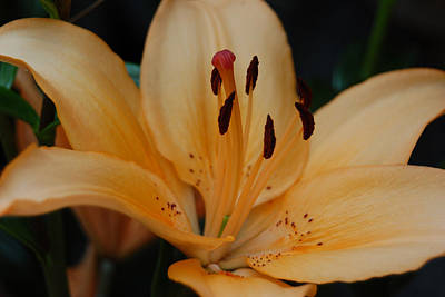 Photograph - Golden Lily by Suzanne Gaff