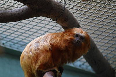 Golden Lion Tamarin - National Zoo - 011316 Print by DC Photographer