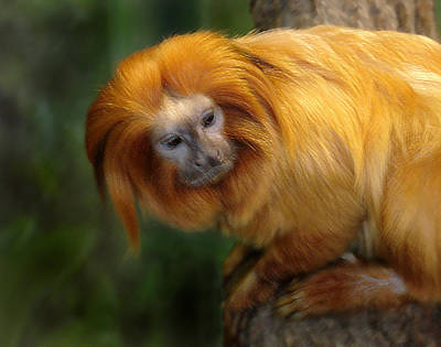Photograph - Golden Lion Tamarin by Steve Karol