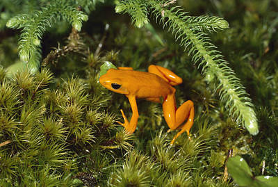 Golden Mantella Frog In Underbrush Art Print by Konrad Wothe