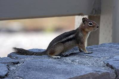 Photograph - Golden-mantled Ground Squirrel - 0005 by S and S Photo