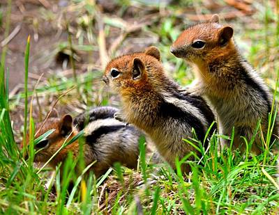 Photograph - Golden Mantled Ground Squirrel Babies by Johanne Peale