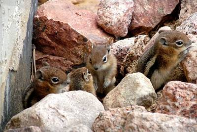 Photograph - Golden-mantled Ground Squirrel Babies by Marilyn Burton