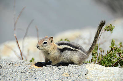 Photograph - Golden-mantled Ground Squirrel by Debra Thompson