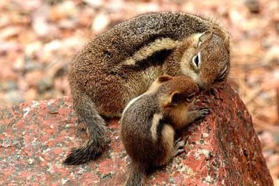 Photograph - Golden-mantled Ground Squirrel Mother And Baby by Marilyn Burton
