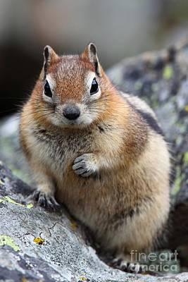 Photograph - Golden Mantled Squirrel by Bill Singleton