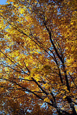 Photograph - Golden Maple 1 by Linda Shafer