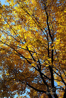 Photograph - Golden Maple 2 by Linda Shafer