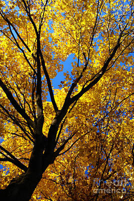Photograph - Golden Maple 5 by Linda Shafer