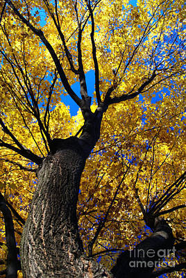 Photograph - Golden Maple 6 by Linda Shafer