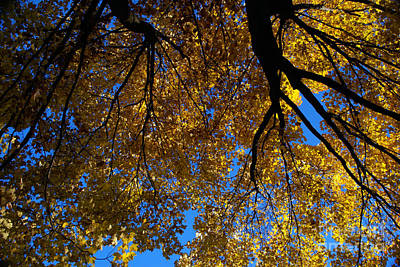 Photograph - Golden Maple 8 by Linda Shafer