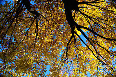 Photograph - Golden Maple 9 by Linda Shafer