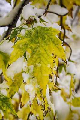 Photograph - Golden Maple In The Snow by James BO  Insogna