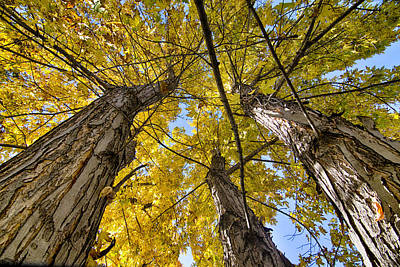 Photograph - Golden Maple Standing Tall  by James BO  Insogna
