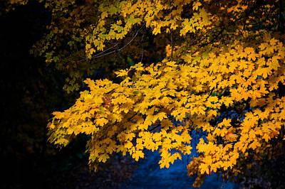 Photograph - Golden Maples by Steve Stuller