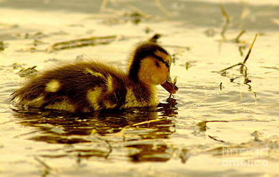 Baby Mallards Photograph - Golden Moment - Duck by Robert Frederick